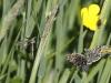 mg_2249-aardbeivlinders-met-langpootmug