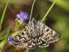 mg_2358-mi-vlinder-euclidia-mi