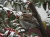 mg_9124-kramsvogel