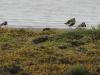 Bontbekplevier en Bonte strandloper