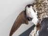 Huiszwaluw n4a0223